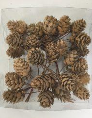 alder pine cones
